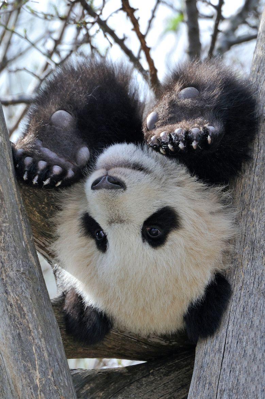 картинки с пандой милые смешные должен играть только