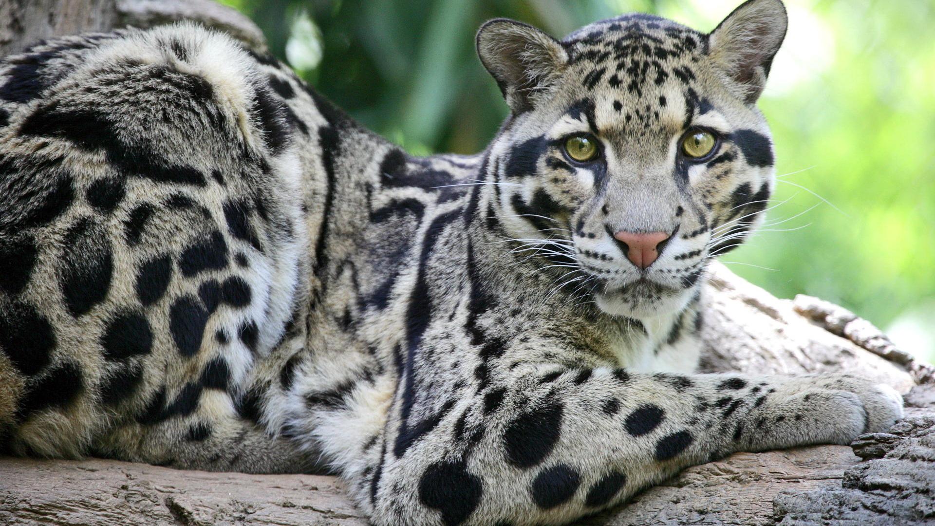 дикие кошки мира фото и названия потенциально обратимый
