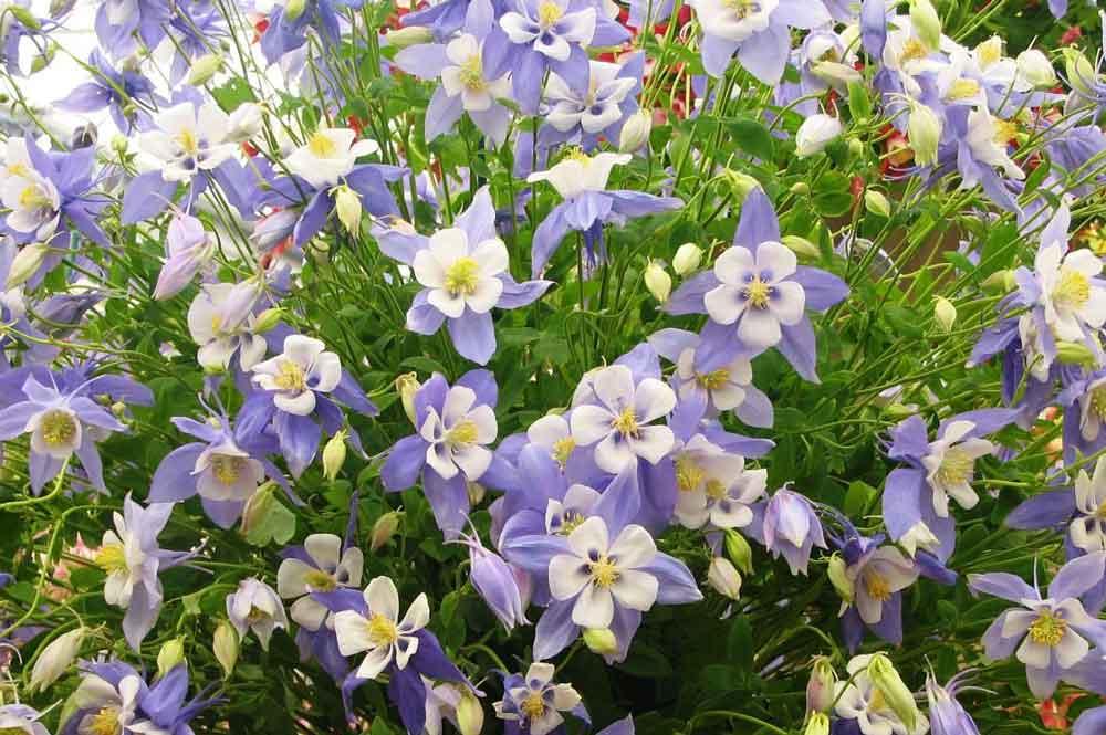 цветы аквилегия фото уход