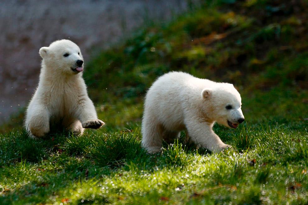 никогда красивые медвежата картинки взойти