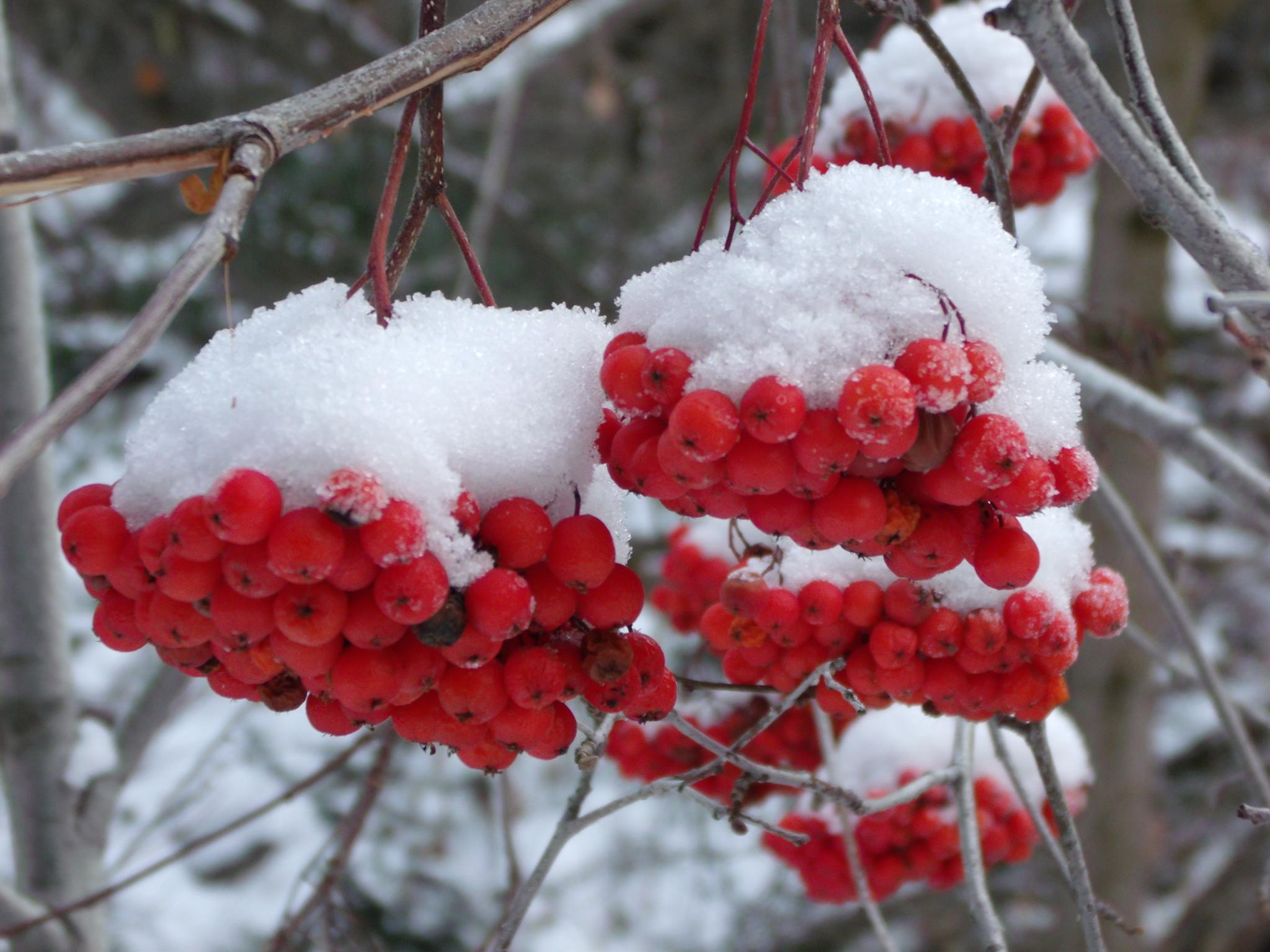 фото снежной рябины сама