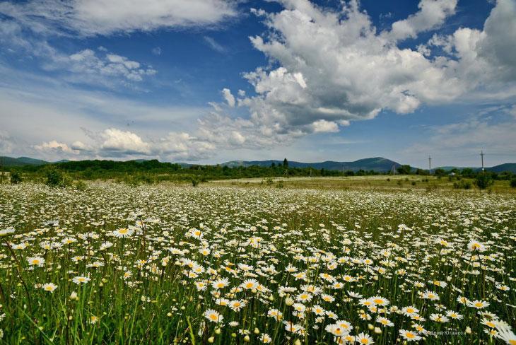 ромашковые поля в ленинградской области с фото день