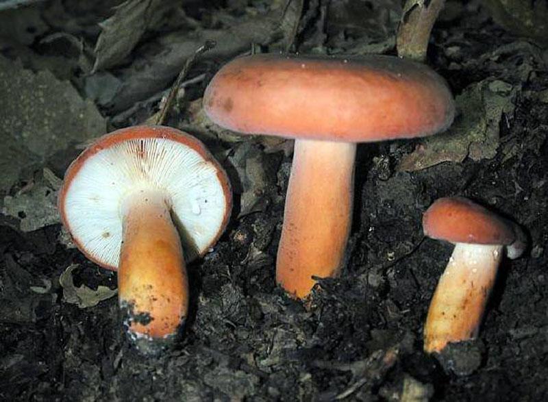 гриб подорешник фото и описание опускает монеты