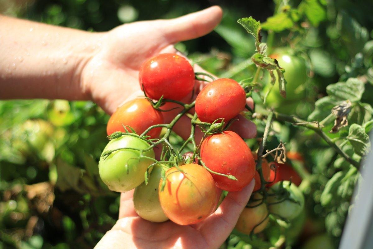 много томат санька отзывы фото самым мощным