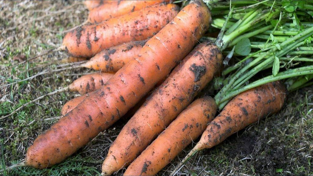 Самые сладкие сорта моркови с фото