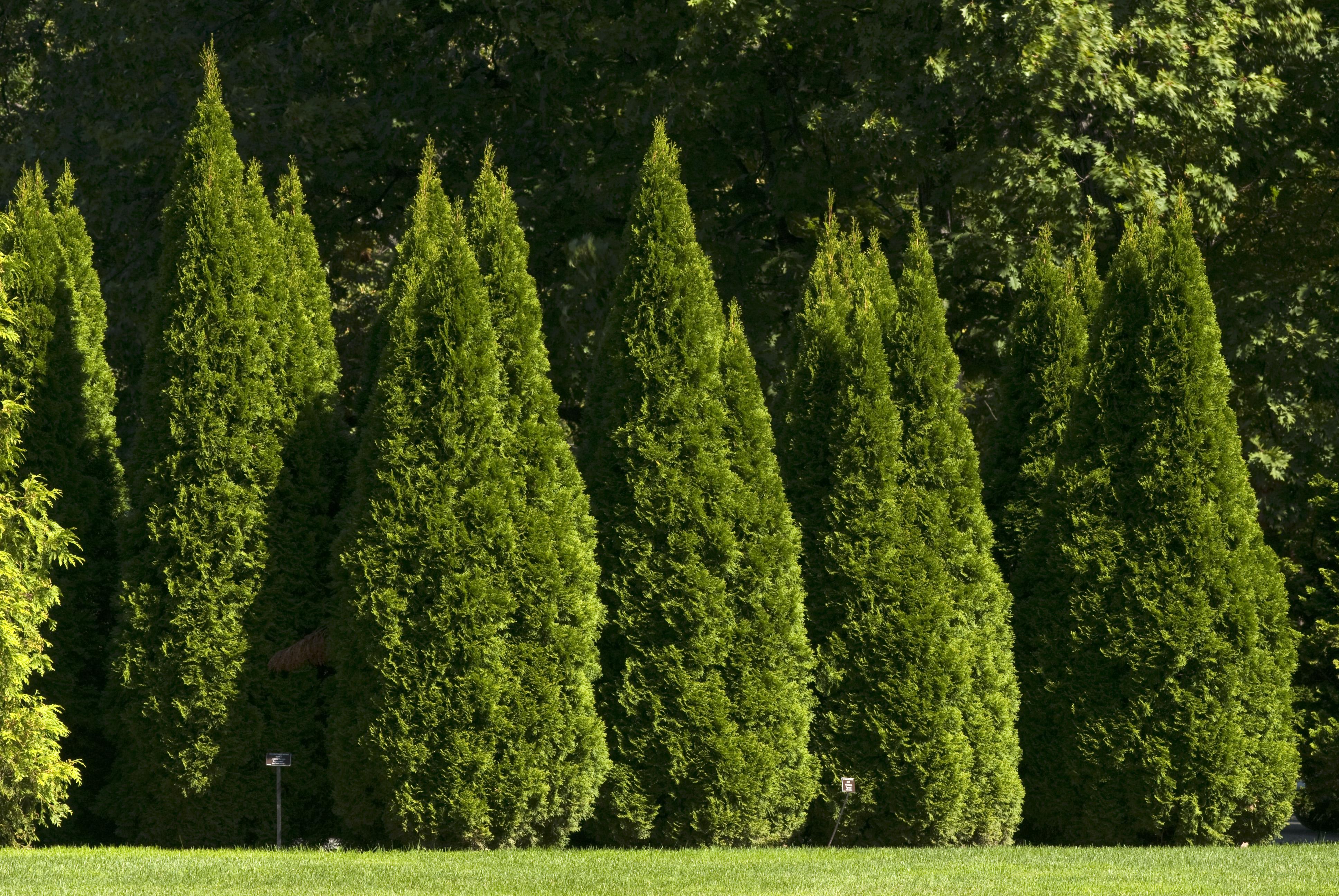 Фото вечнозеленые деревья деревьев