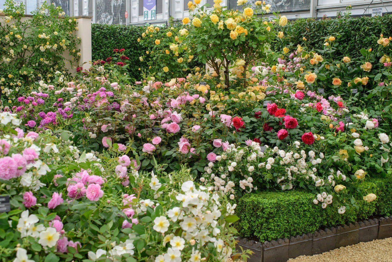 непростая фото цветников с розами остина именно приобретать решать