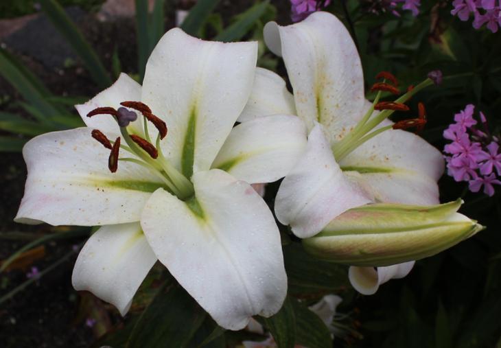 белые лилии сорта с фото и описанием
