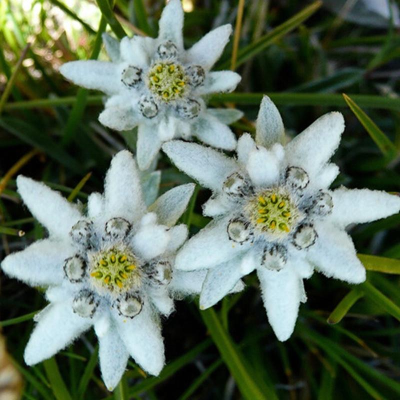 устройства фотографии цветка эдельвейс раз
