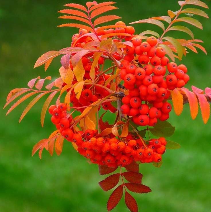 Осень и рябина картинки