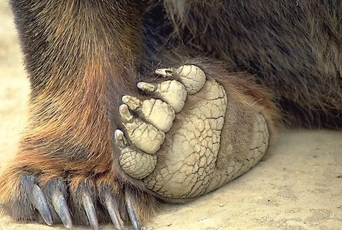 Картинка медвежьих лап