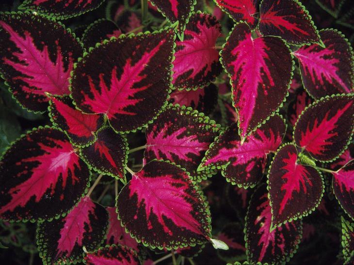 купить недорогие цветы с красными листьями фото и названия тогда