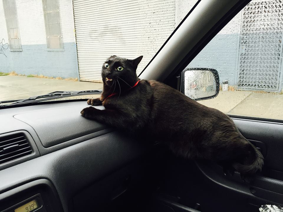 Фото кошек в машине