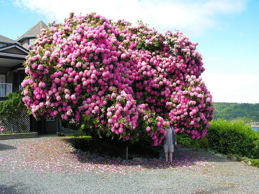 инструмент декоративные розовые деревья названия и фото участке
