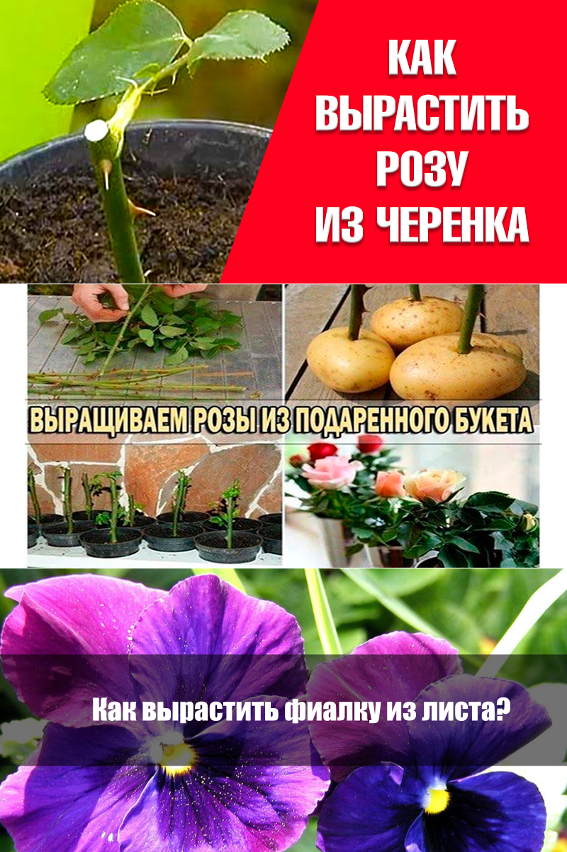 полезные советы про цветы с картинками одуванчик