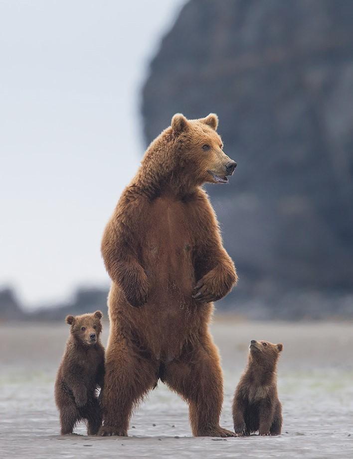 Семья медведя картинки
