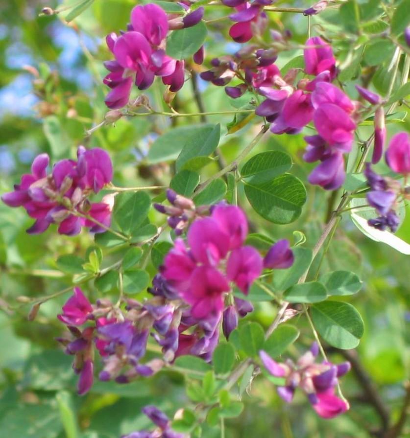 леспедеца фото цветы сладкий