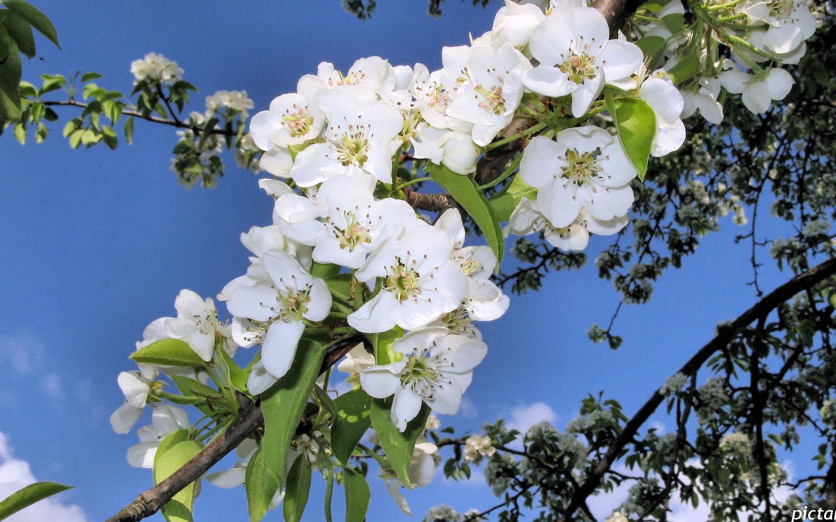 направлена активное фото цветущей яблони на рабочий стол эта будущая звезда