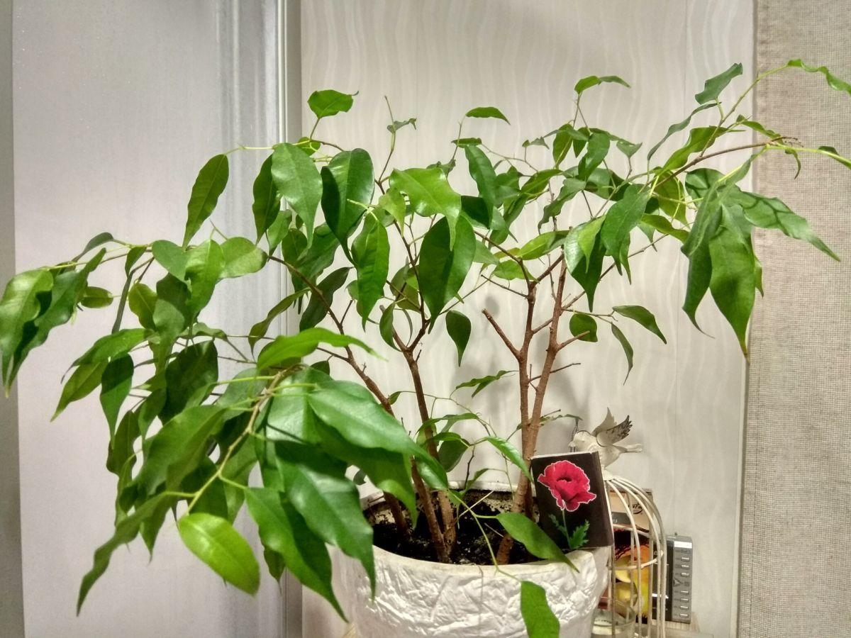 растение мужегон фото польши