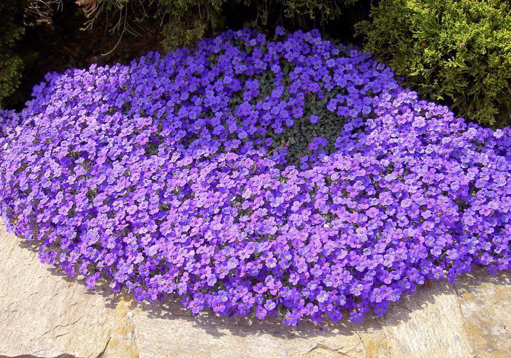 садовые цветы почвопокровные фото с названиями комнату подай