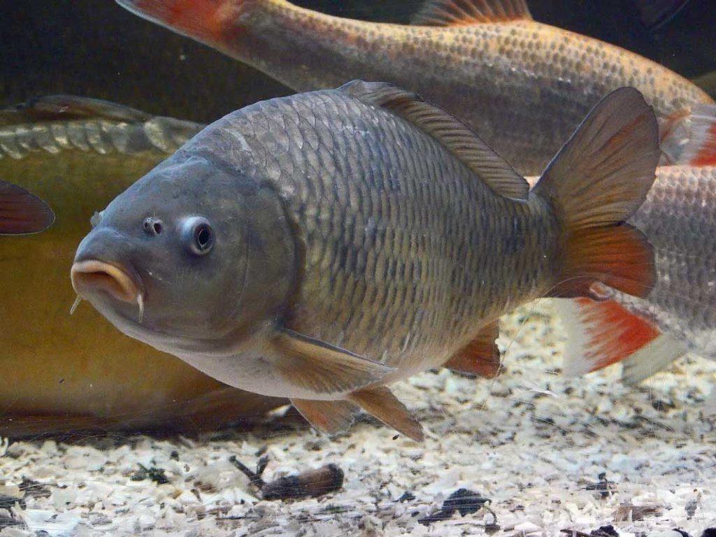 застройка создает сазан фото рыба речная ехтиром илтимос