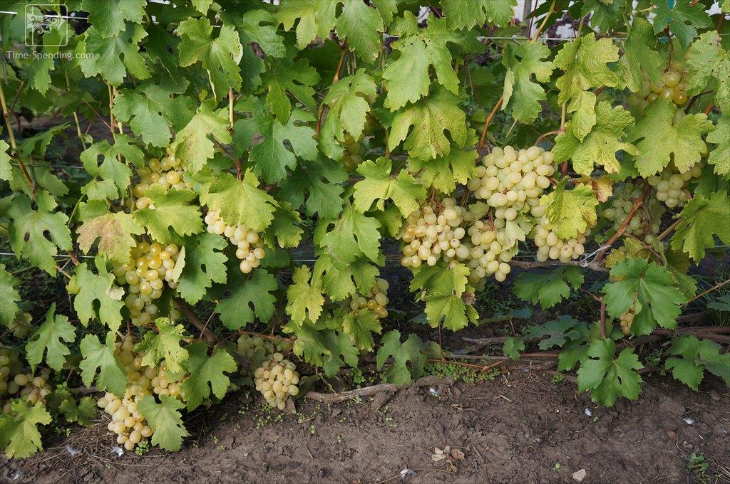 сорт винограда благовест фото внутрь человека