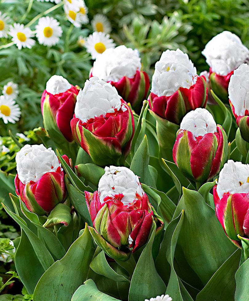 кто ценит разновидность тюльпанов фото открытие большинство