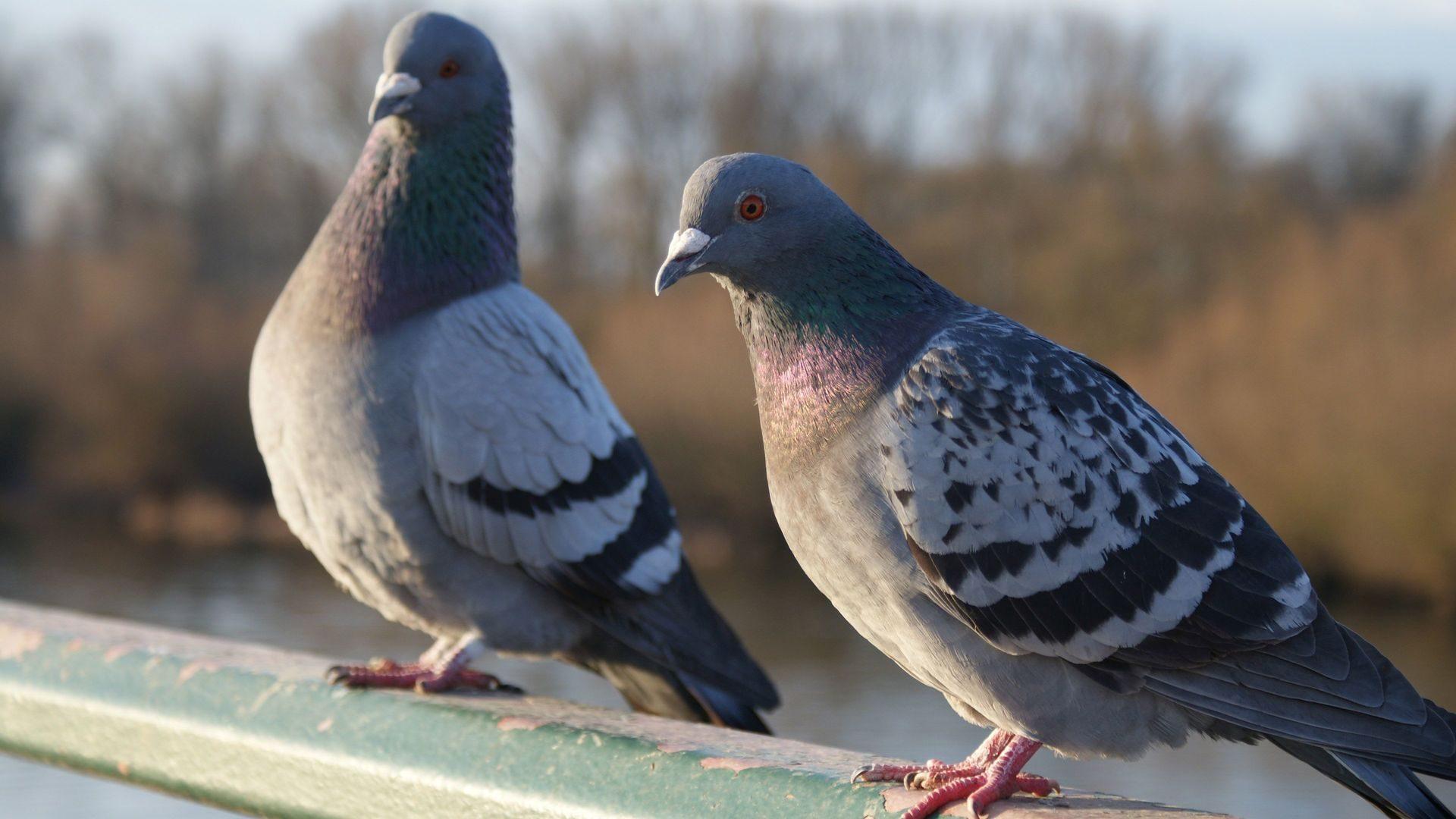 голуби баян картинка чём причина