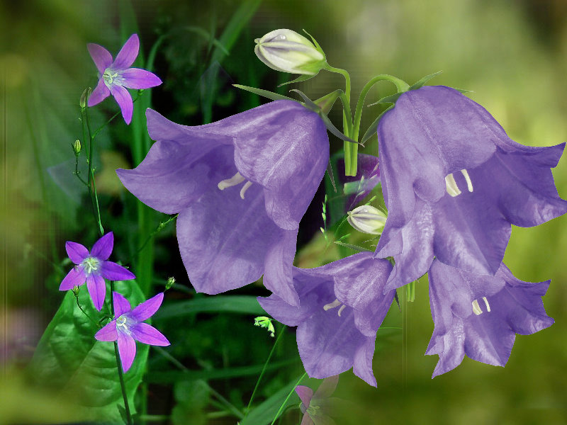 обои картинки про колокольчики цветы спикера областной