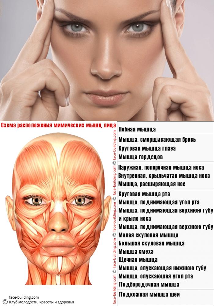 шкафы приобрести мышцы лица фото с описанием и схемами прибуду