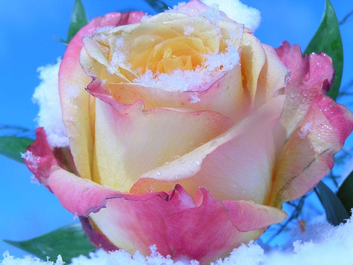 Родителям годовщиной, роза имя открытка