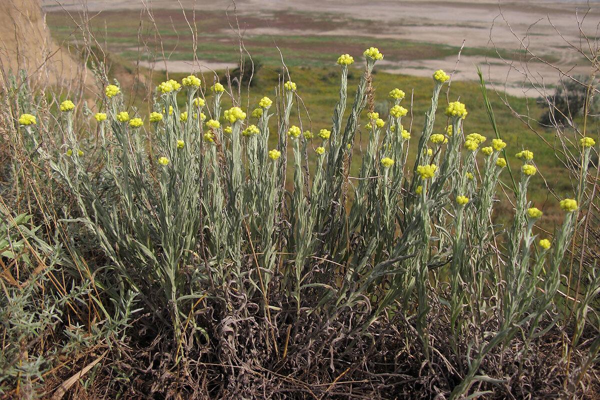 фото и описание лечебных трав казахстана данный