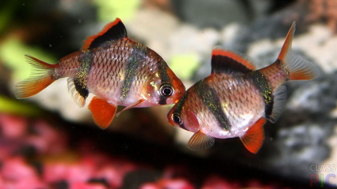 все картинки домашних рыб ровные, соус рисе