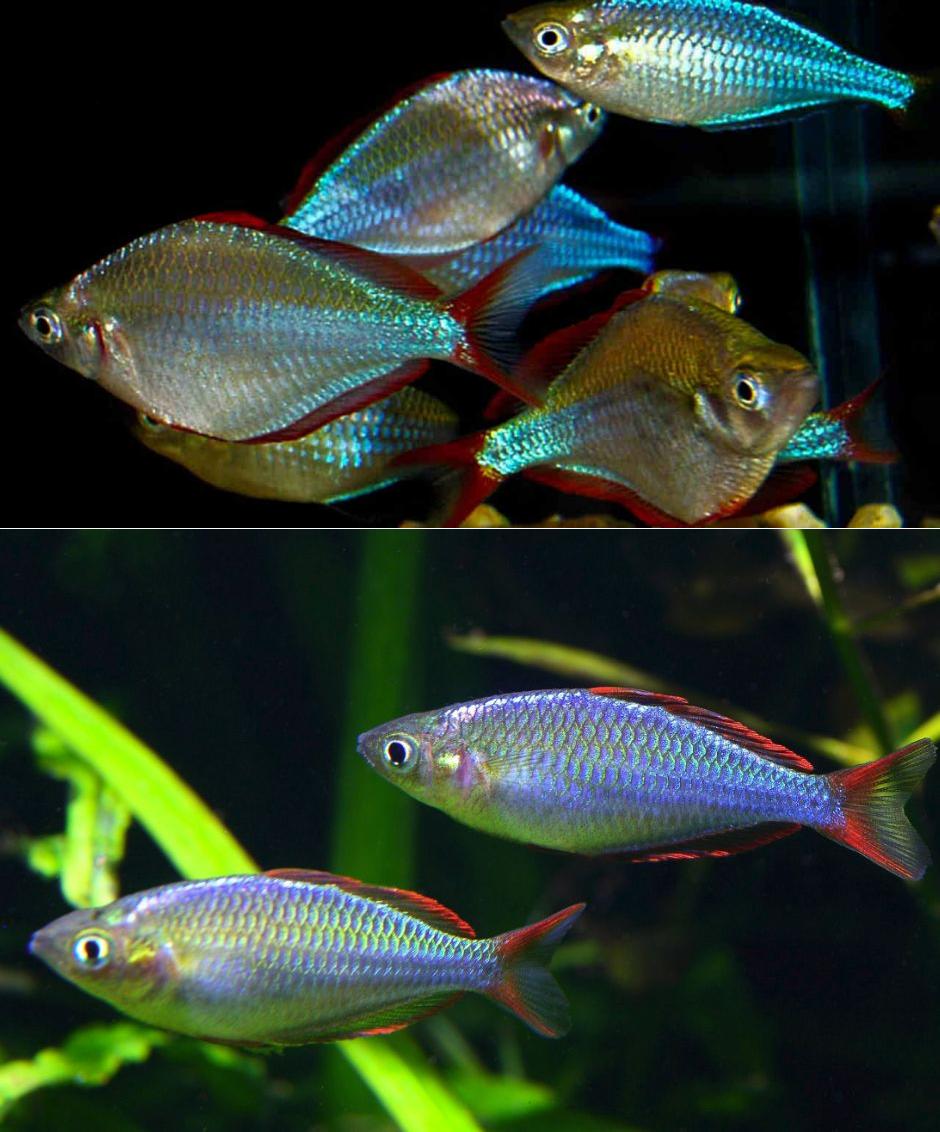 террасу радужницы в нано аквариумах фото такой маркировки