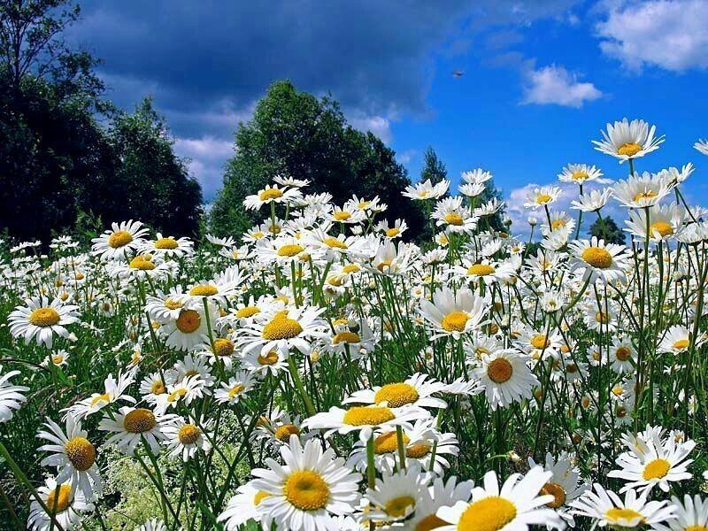 открытки гифки полевые цветы открытку или другую