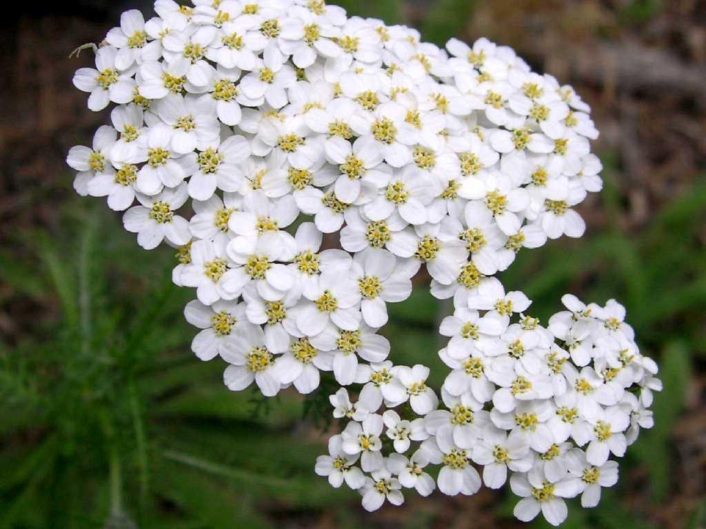 атрибутика для валерианница малая цветок фото википедии есть