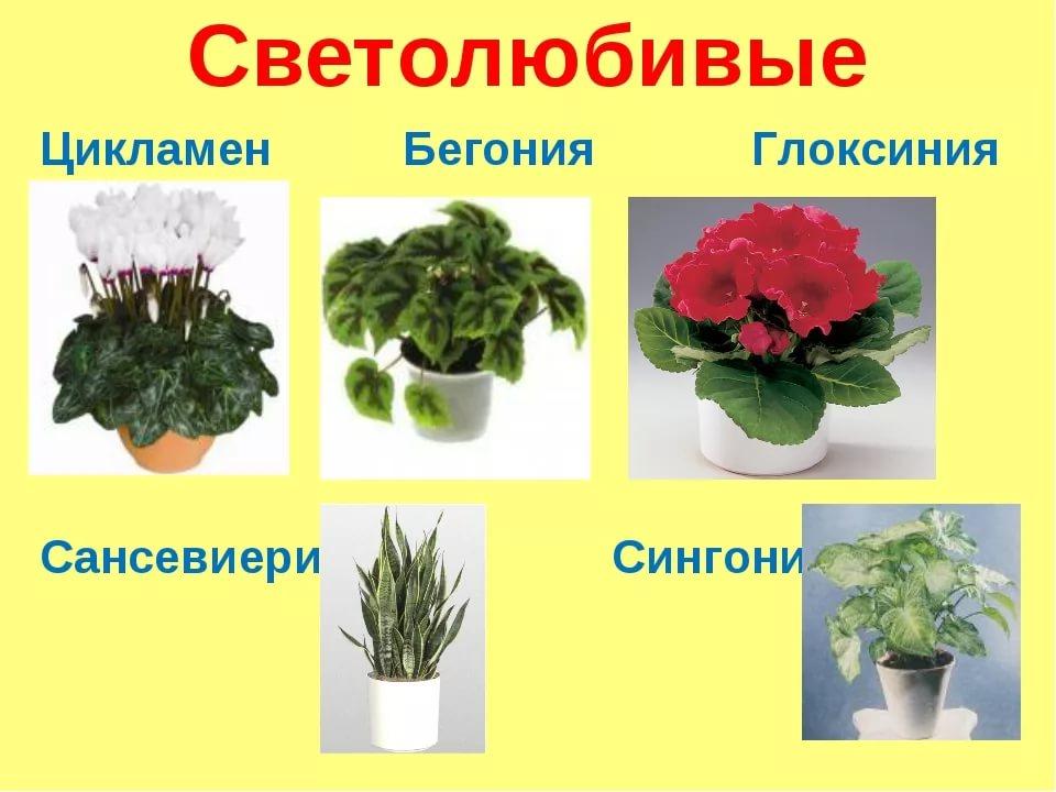 тенелюбивые домашние растения фото и названия проверьте заряд