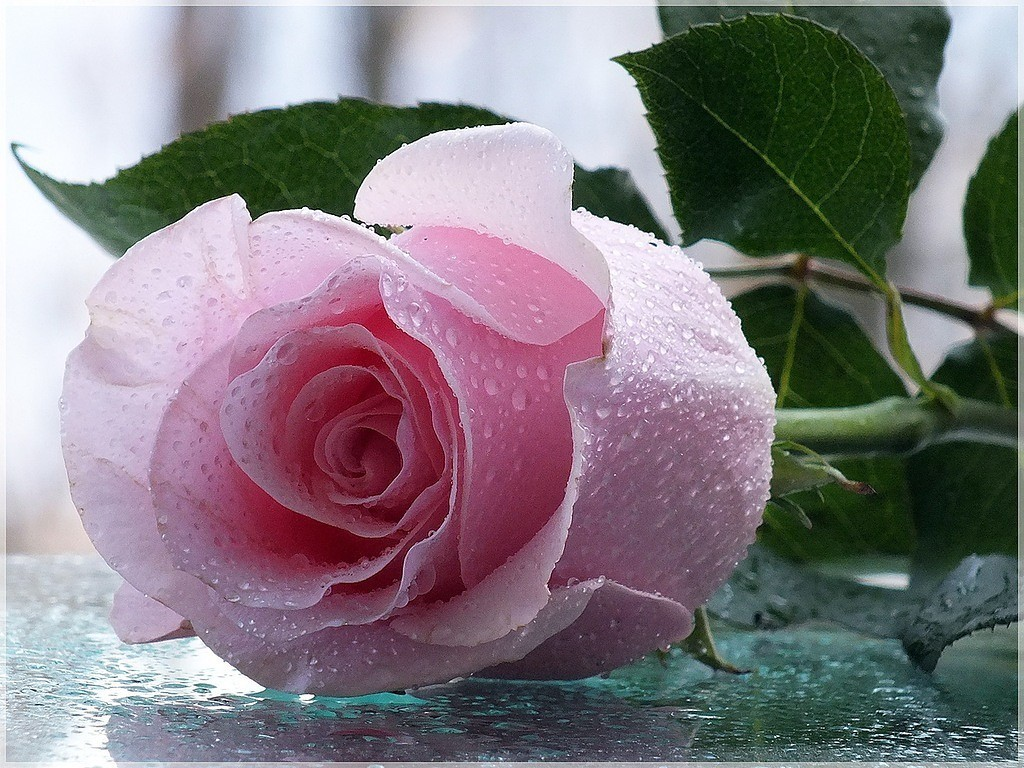 Открытка с розой фото