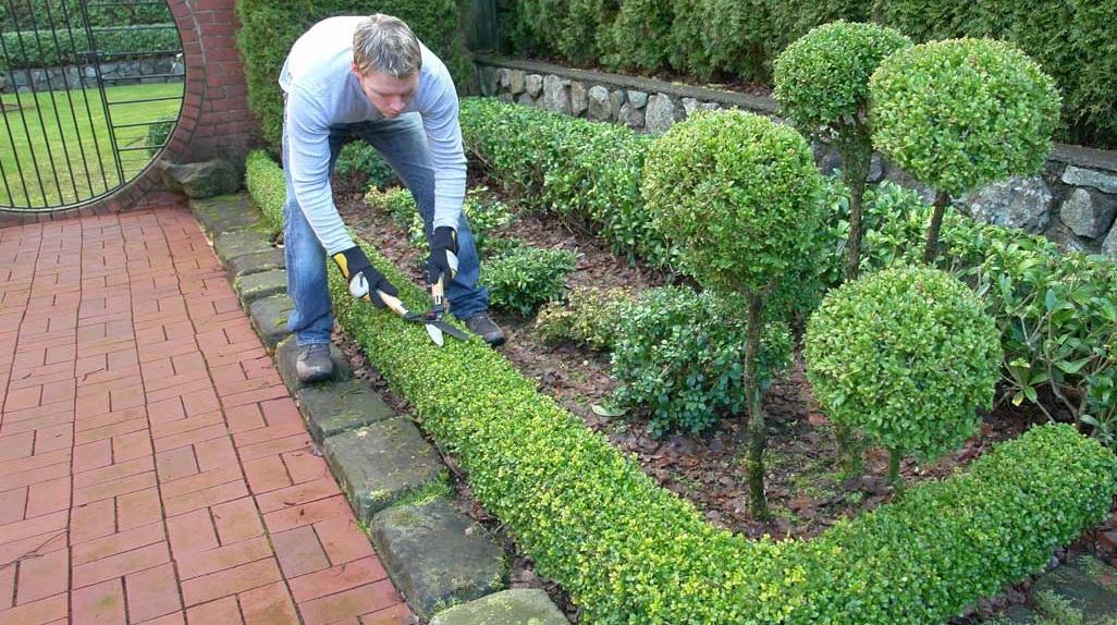 самшиты где посадить в саду фото вспышки для