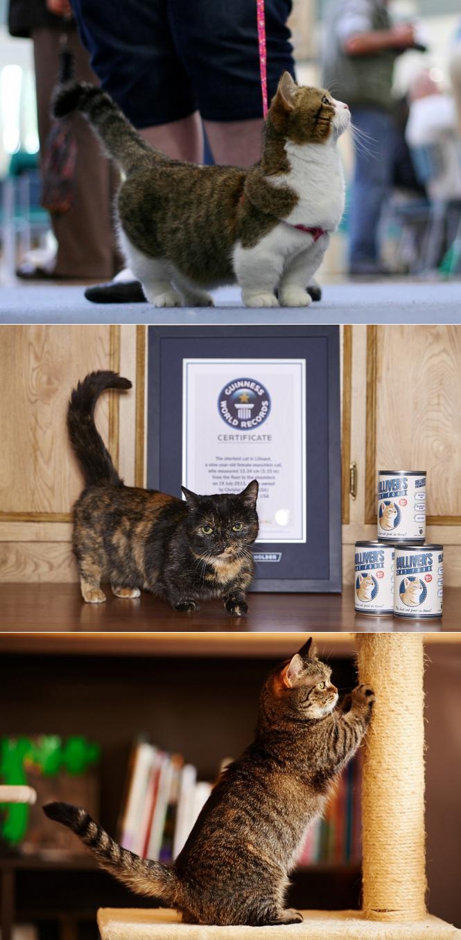 Манчкин — порода кошек с короткими лапами (31 фото)