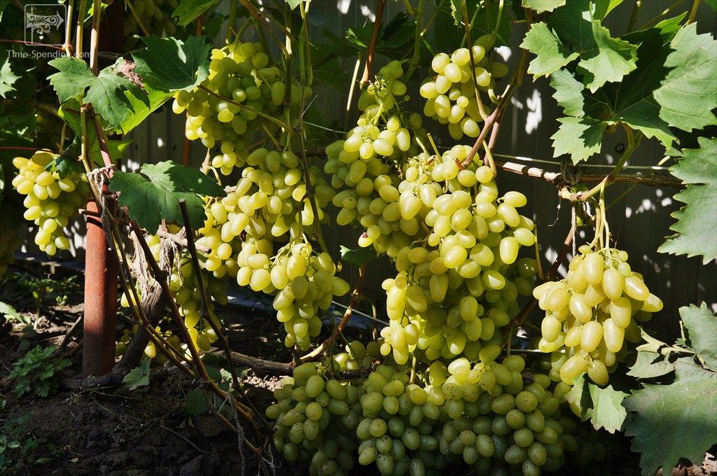 Описание и фото винограда сорта аркадия евгения принимает