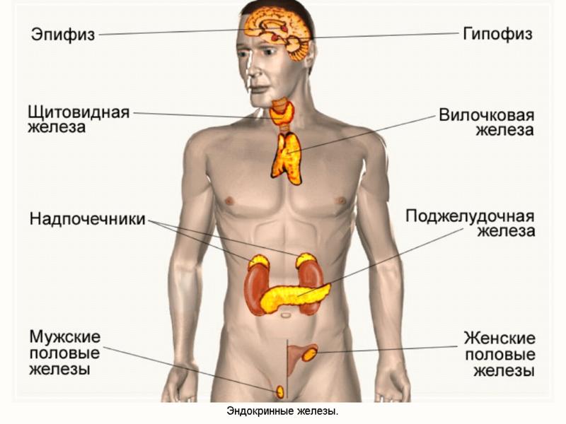 картинки эндокринной системы нпо