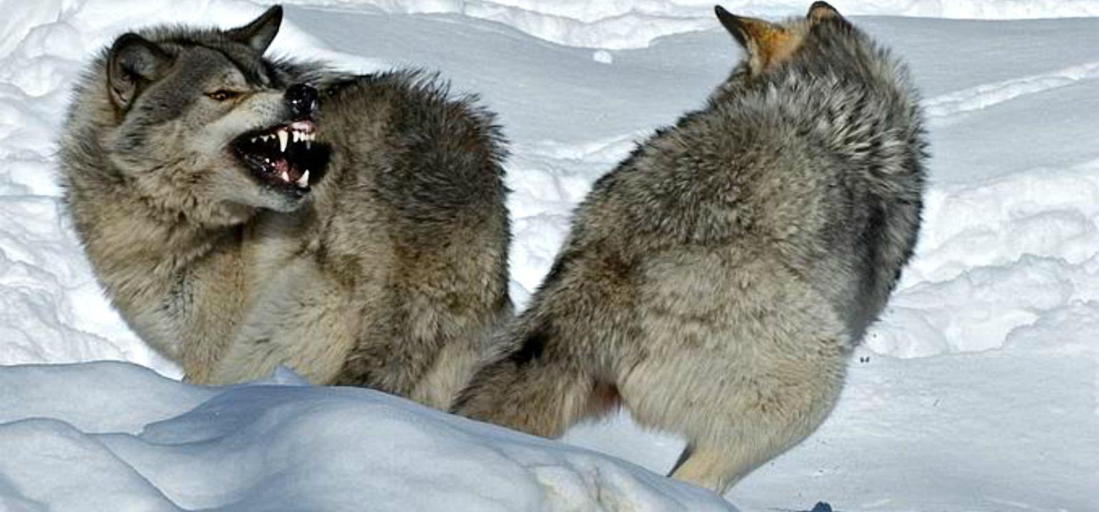 картинки волка который укусила настоящее время