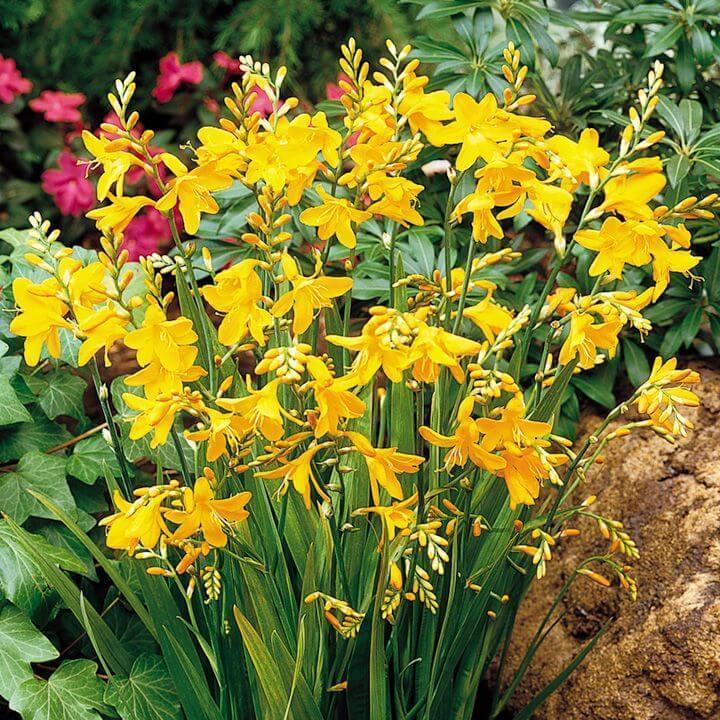 Цветы высокие для сада и огорода фото с названиями