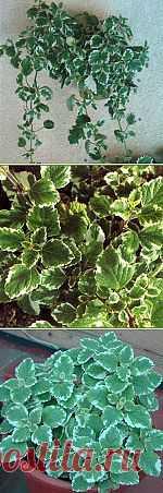 Плектрантус полезное растение в Вашем доме. | house-flora.ru