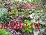 Выращивание гейхеры в северных регионах Прекрасные кустики гейхеры станут украшением любого тенистого участка. Разнообразная палитра листьев заставит играть яркими красками даже скромный цветник. Большинство сортов относится к 4 зоне зимостойкости. Как быть садоводам регионов с более холодным климатом? Гейхера сохраняет свои листья в течение всего сезона. Выходит из-под снега с прошлогодними побегами. При желании можно использовать декоративную красоту в зимнее время, выра...
