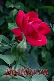 La rosa - la reina del jardín
