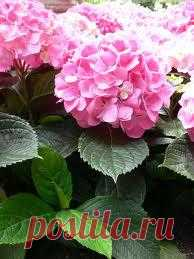 Необычайно красива гортензия, разнообразие сортов которой сегодня поражают. Ее с успехом можно выращивать в саду, но не менее привлекательна она и в горшечной культуре. Летом она будет радовать Вас огромными корзинками соцветий и продолжительным цветением http://www.supersadovnik.ru/article_plant.aspx?id=1003623