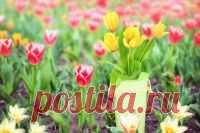 Зачем выкапывают тюльпаны и когда это надо делать? Отвечает опытный цветовод Мария Алексеева: Луковицы большинства сортовых тюльпанов необходимо ежегодно выкапывать и сажать заново. Всё дело в том, что это растение каждый год «меняет» луковицу: старая…