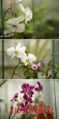 Томское царство тропических растений: в Сибирском ботаническом саду орхидеи цветут круглый год.